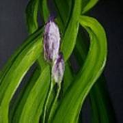 Iris Buds  49 Art Print