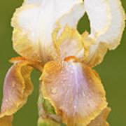 Iris Canary Frills Art Print