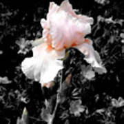 Iris Emergance Art Print