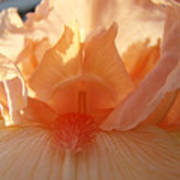 Iris Flower Art Prints Sunlit Orange Irises Baslee Troutman Art Print