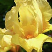 Iris Flower Floral Art Prints Orange Irises Art Print