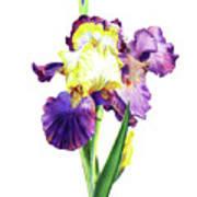 Iris Flowers Watercolor  Art Print