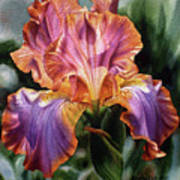 Iris II Art Print