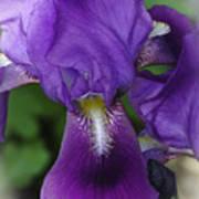 Iris In The Mist Art Print