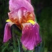 Iris In The Pink Art Print