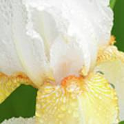 Iris In The Rain II Art Print