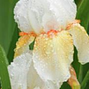 Iris In The Rain Art Print