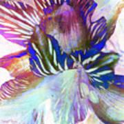 Iris Iv Art Print