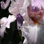 Iris Lace Art Print