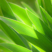 Iris Leaves Art Print