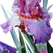 Watercolor Of A Tall Bearded Iris In Pink, Lilac And Red I Call Iris Pavarotti Art Print