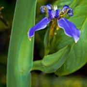 Iris On Green Art Print