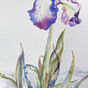 Iris Passion Art Print