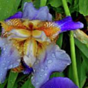 Iris Rain Blue Art Print