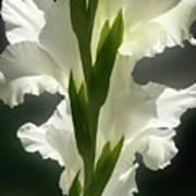 Gladiolus Spectacular #2 Art Print