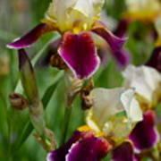 Iris Spring Art Print