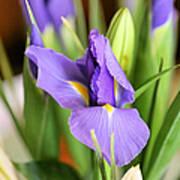 Iris Unfolding II Art Print