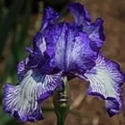 Iris Unraveled Art Print