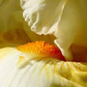 Iris With Touch Of Orange Art Print