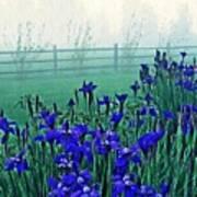 Irises At Dawn 3 Art Print