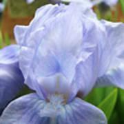 Irises Blue Iris Flower Light Blue Art Flower Soft Baby Blue Baslee Troutman Art Print