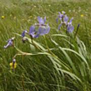 Irises By The Sea Art Print
