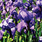 Irises Princess Royal Smith Art Print