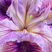 Irises Summer Purple Lavender Iris Flower Art Print Baslee Art Print