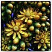 Irish Rose. Also Known As Pinwheel Art Print