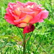 Irish Rose  Art Print