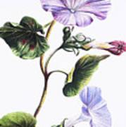 Isabella Sinclair - Pohue Art Print