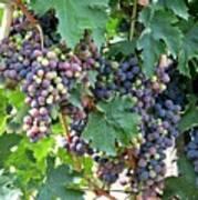 Italian Grapes Art Print
