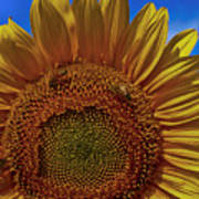 Italian Sunflower With Bees Art Print