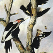 Ivory-billed Woodpeckers Art Print