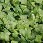 Ivy Green Art Print