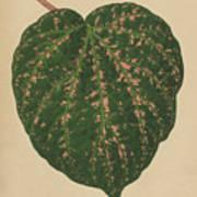 Ivy Leaf, Cissus Porphyrophyllus  Art Print