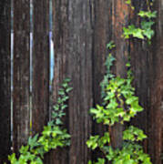 Ivy On Fence Art Print