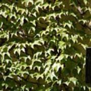 Ivy Sunlight Art Print