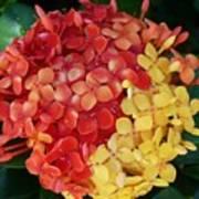 Ixora Flower Mix Art Print