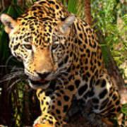 Jaguar Adolescent Art Print