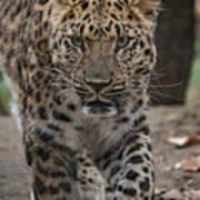 Jaguar On The Prowl Art Print