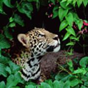 Jaguar Panthera Onca Peeking Art Print