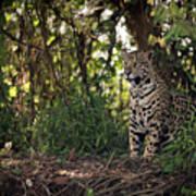 Jaguar Sitting In Trees In Dappled Sunlight Art Print