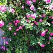 Jane's Rose Bush Art Print