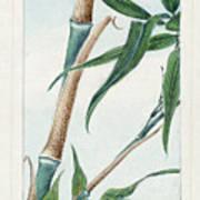 Japan: Bamboo, C1870s Art Print