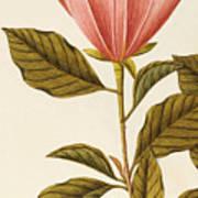 Japanese Bigleaf Magnolia Art Print