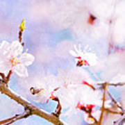 Japanese Cherry - Sakura In Bloom Art Print