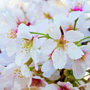 Japanese Cherry Tree Blossoms 2 Art Print
