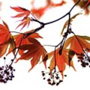 Japanese Maple 2011-2 Art Print