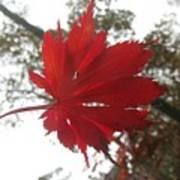 Japanese Maple Leaf 2 Art Print